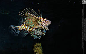 Lionfish by DamselStock