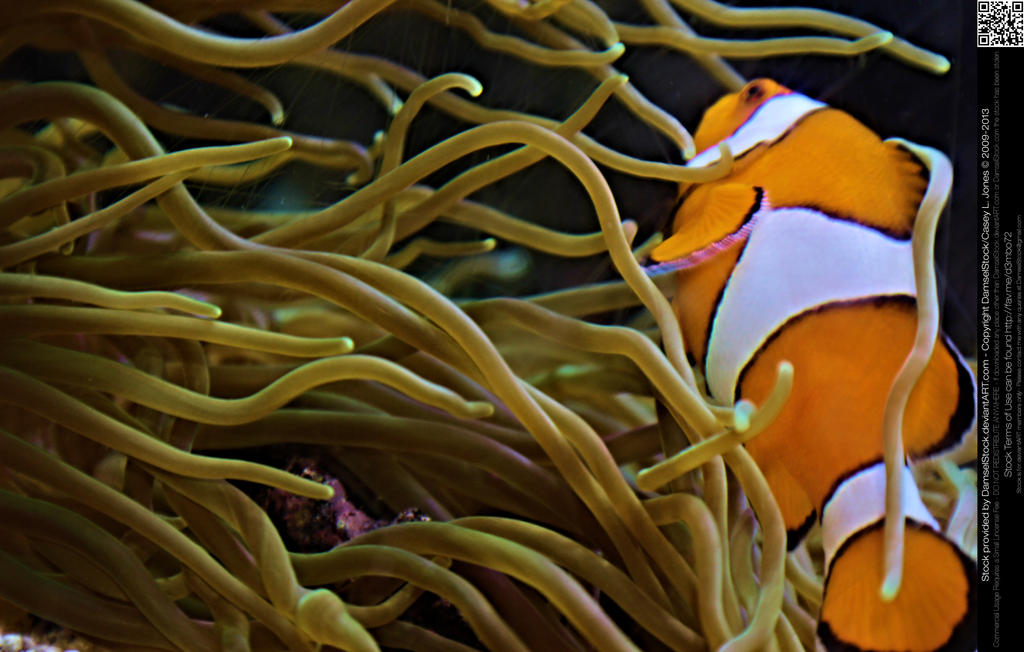 Clownfish in Anemone by DamselStock on DeviantArt