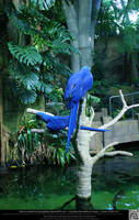 Hyacinth Macaw 8 by DamselStock