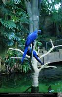 Hyacinth Macaw 9 by DamselStock