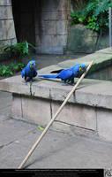Hyacinth Macaw 3 by DamselStock