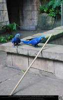 Hyacinth Macaw 2 by DamselStock