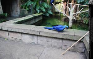 Hyacinth Macaw 4 by DamselStock