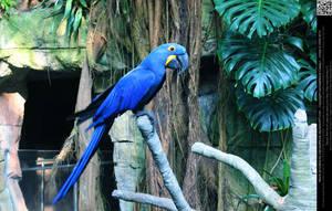 Hyacinth Macaw 5 by DamselStock