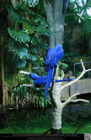 Hyacinth Macaw 7 by DamselStock