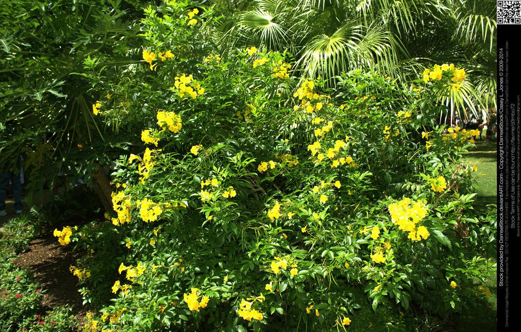 Yellow Flowering Bush Forsythia