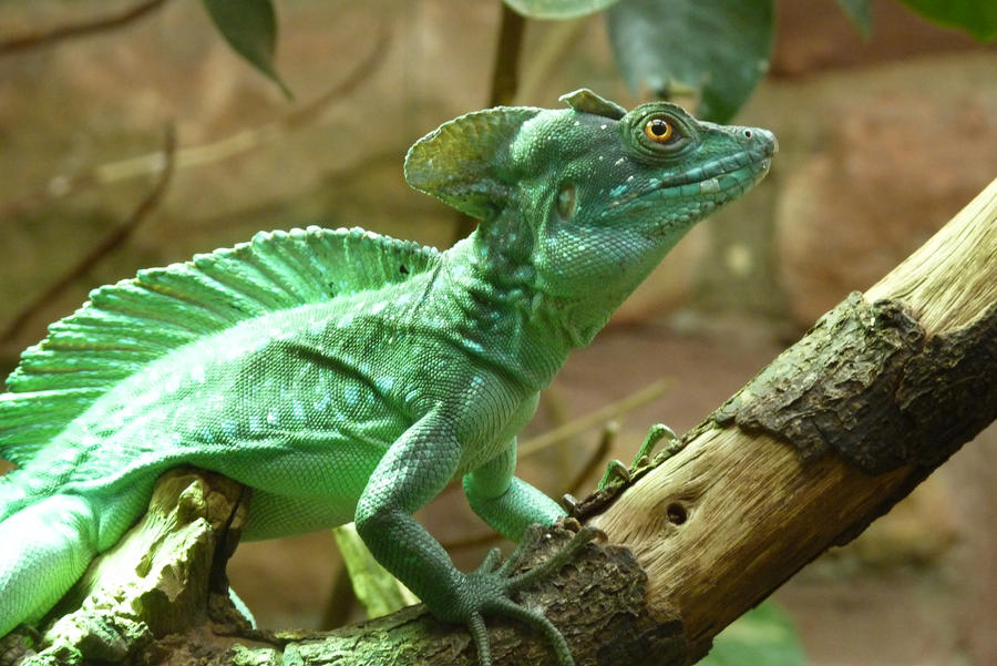 essays about the basilisk lizard This basilisk lizard clearly didn't fancy obliging with a demonstration of walking on water to justify its nickname in the first of our essays.