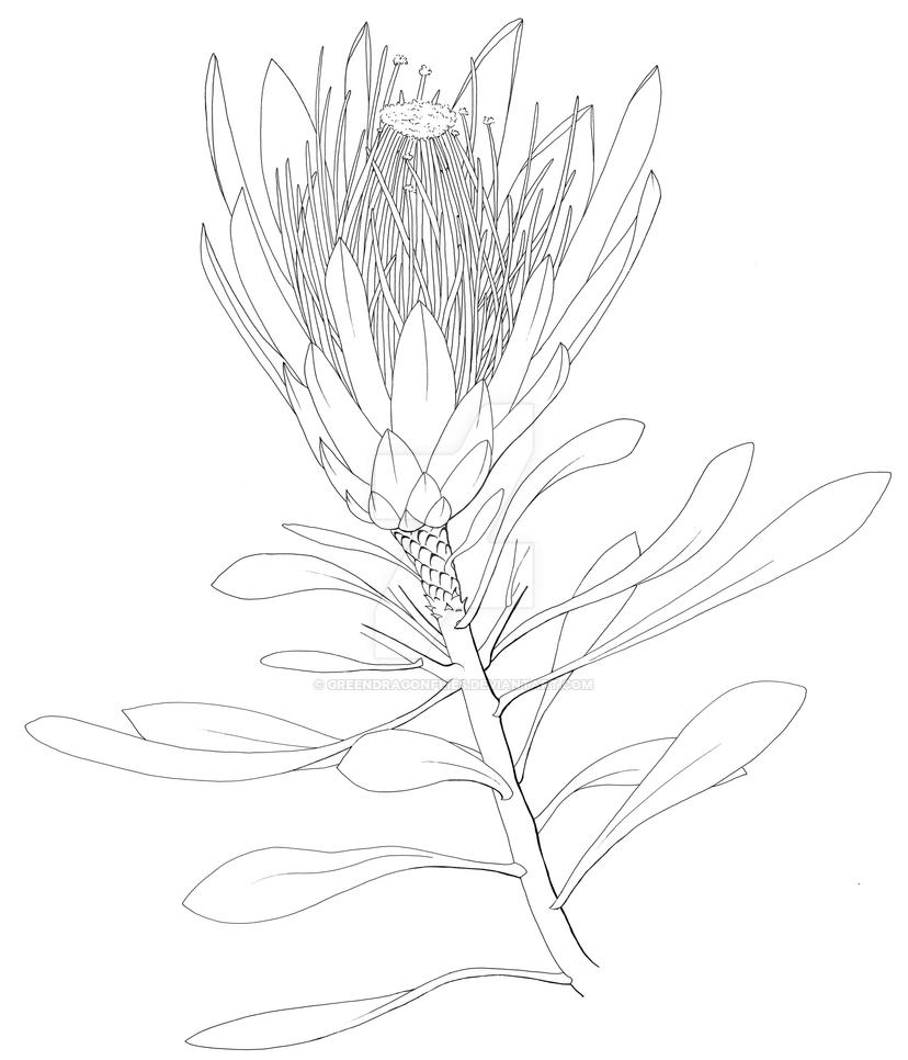 Green Flower Line Drawing : Protea repens by greendragonflies on deviantart