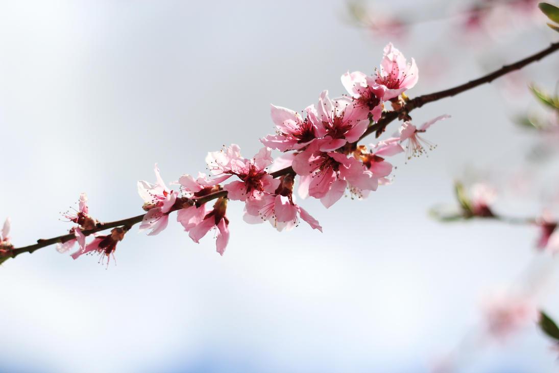 cherry blossoms login