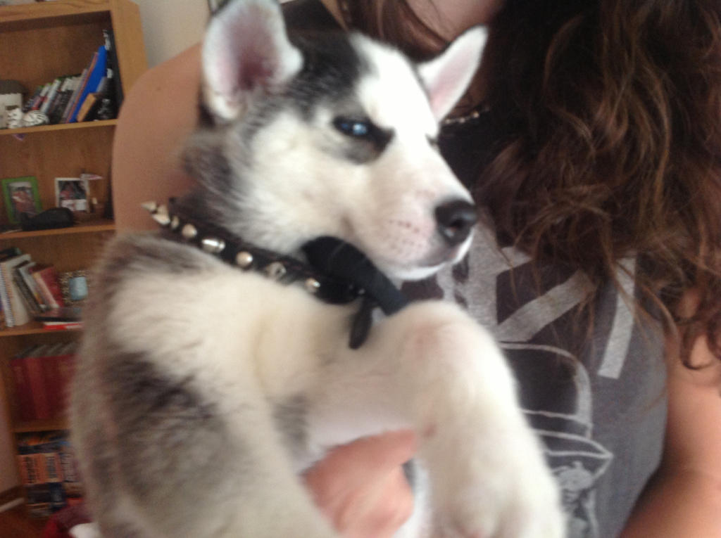 Adorable husky puppy
