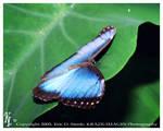 Blue Morpho 4 by krazeric
