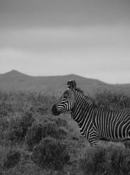 Mountain Zebra by Bobby01