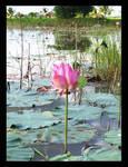 the lotus.