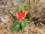 A lonely rose