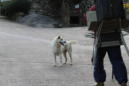 A Jindo and her Master