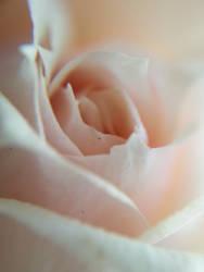 Pink Rose by Zimarra
