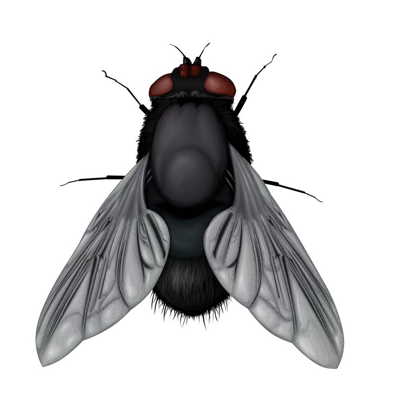 картинки мух на прозрачном фоне для детей