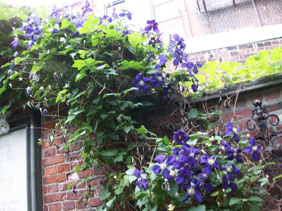 how to kill purple flowering climbing vine