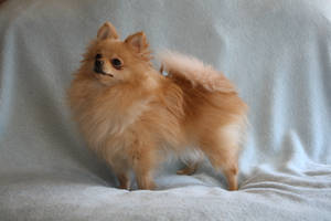 Pomeranian Stock 4 by JArcher-Stock