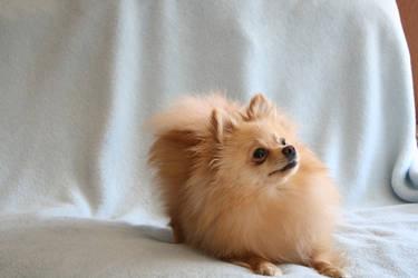 Pomeranian Stock 11 by JArcher-Stock