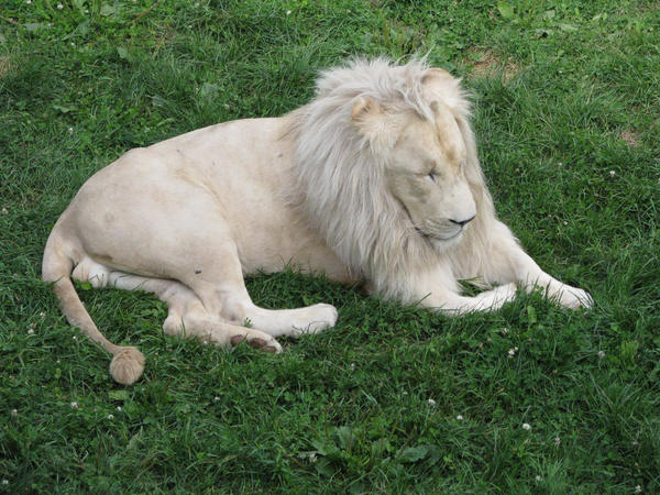 White lion I by Yanomiestock