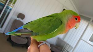 Lovebird stock 03