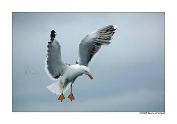 Norwegian gull 12 by grugster