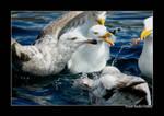 Norwegian gull 14