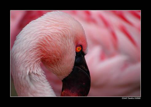Chile flamingo 2