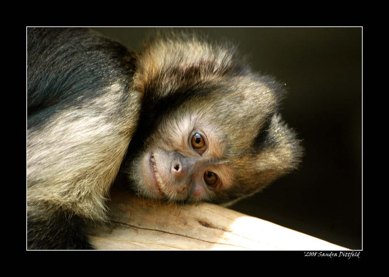 Capuchin monkey 2 by grugster