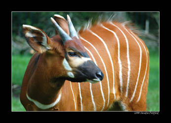 Bongo antilope 2 by grugster