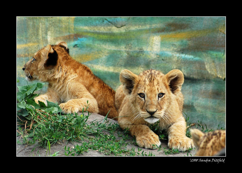 Baby lions 2