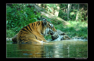 Siberian Tiger by grugster