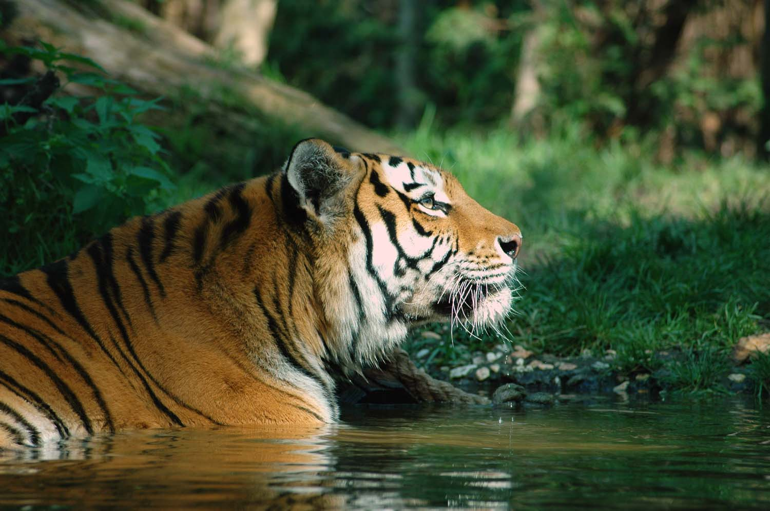 tiger siberian tiger Siberian (or amur) tigers are the world's largest cats tigers are the largest of all wild cats and are renowned for their power and strength there were once nine tiger subspecies, but three.