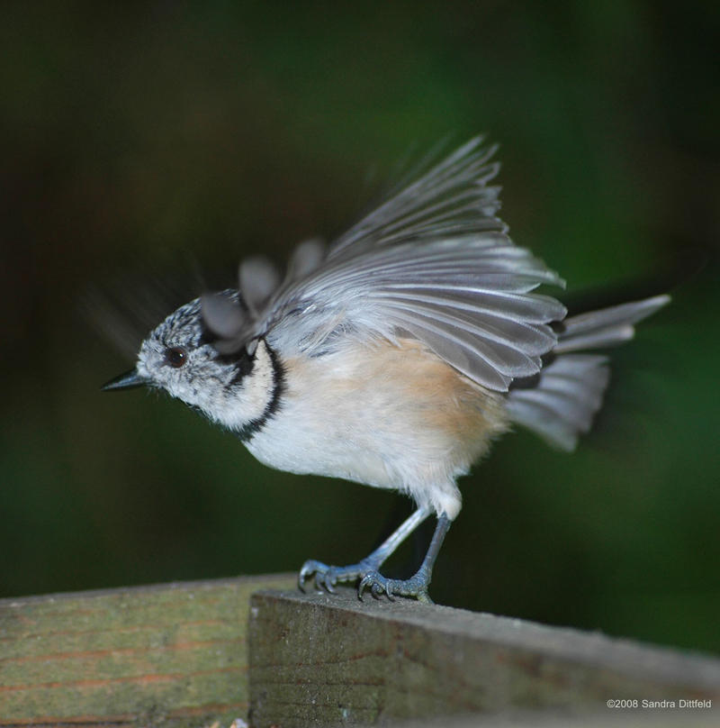 Crested Tit 3 by grugster At present, many countries allow homosexual marriages, such as Canada, ...