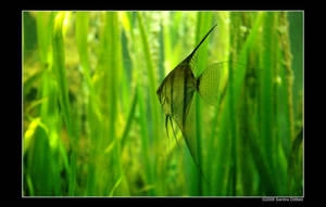 Angelfish by grugster