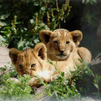 Baby lions by grugster