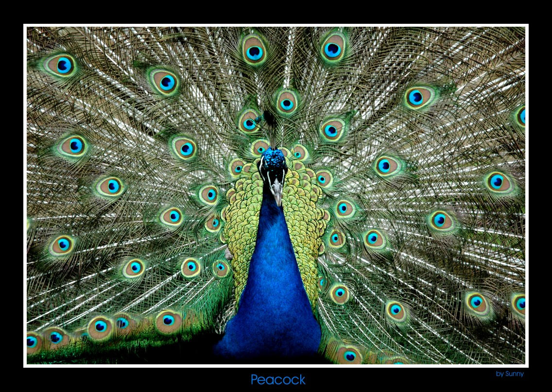 """Obrázek """"http://fc02.deviantart.com/fs4/i/2005/139/5/6/Peacock_by_grugster.jpg"""" nelze zobrazit, protože obsahuje chyby."""