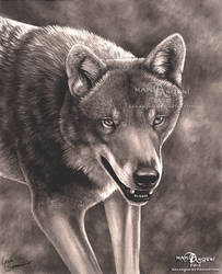 Black and White Wolf by makangeni
