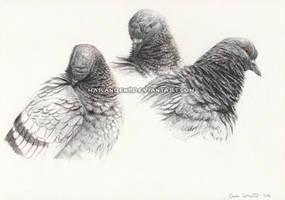 Pigeon study by makangeni