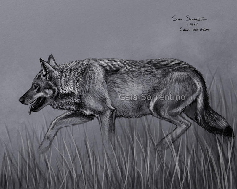 Wolf sketch by makangeni for Lupo disegno a matita
