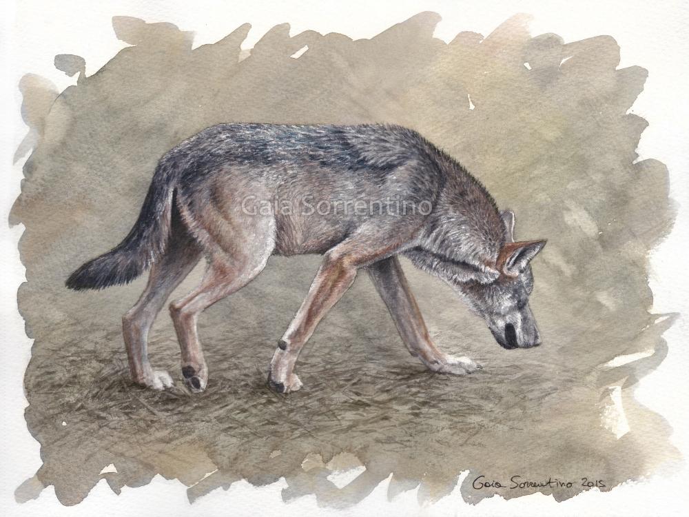 Italian Wolf watercolor by makangeni