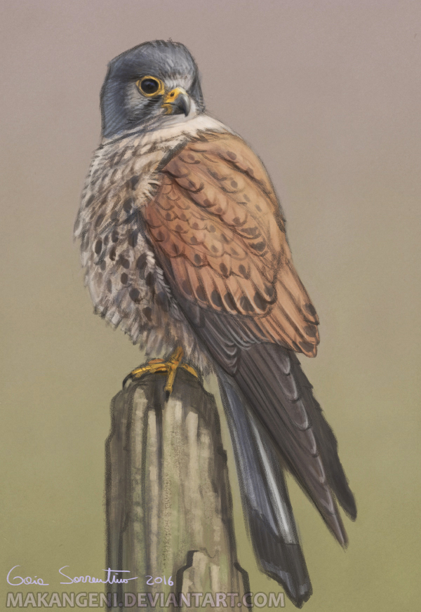 Common Kestrel by makangeni
