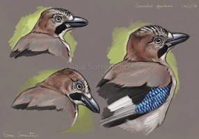 Eurasian Jay study by makangeni