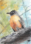 American Robin watercolor