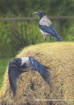 Hooded crows on hay
