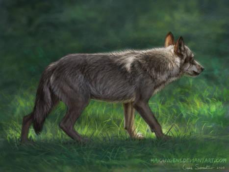Italian wolf study