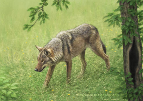 Wolf walking in the grass