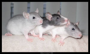 Three Little Rats Are We by PhoenixAshesRats
