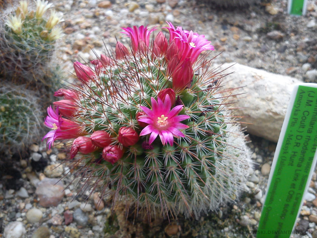 Macro Cactus With Pink Flowers By Kretowski On Deviantart